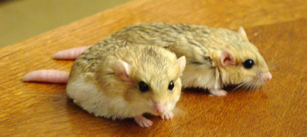 flat-tailed gerbil facts