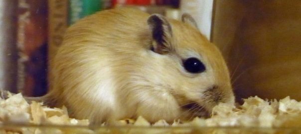 are gerbils nocturnal