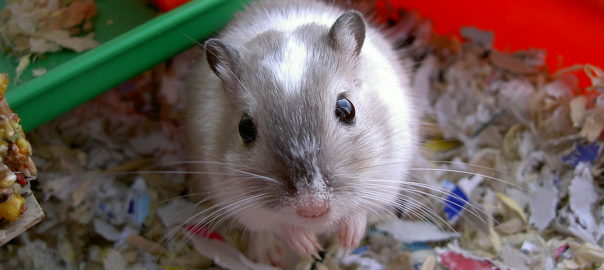 do gerbils eat the things they chew