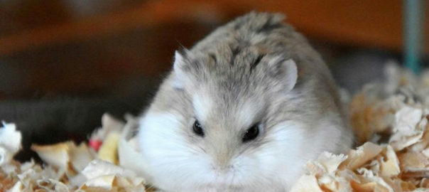 can gerbils and hamsters mate